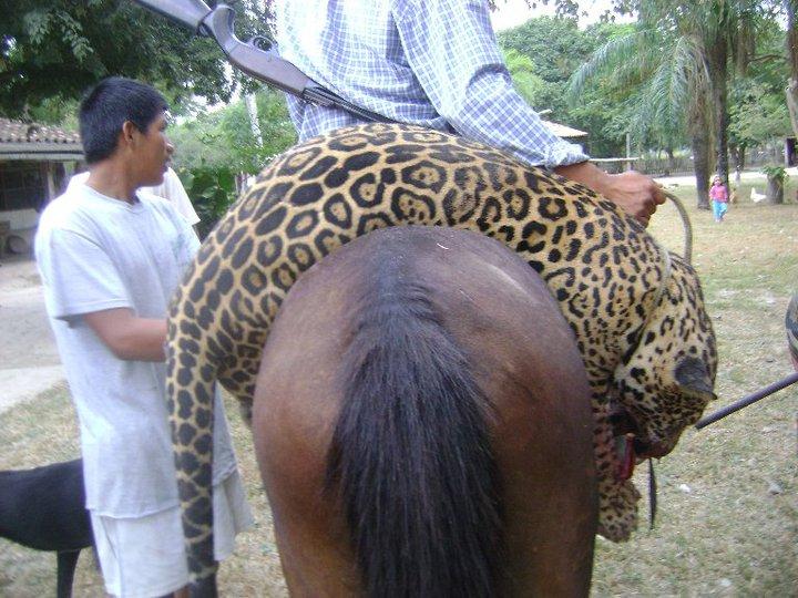 yaguarete cazado